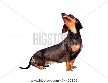 Beautiful dog teckel looking up  isolated on white background
