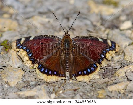 Camberwell Beauty Butterfly (nymphalis Antiopa) Warming In Early Spring Sun After Hibernation As Ima