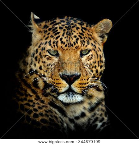 Close Up Leopard Portrait Isolated On Dark Background