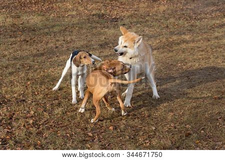 Amstaff Puppy, Akita Inu Puppy And Estonian Hound Puppy Are Playing In The Autumn Park. Pet Animals.