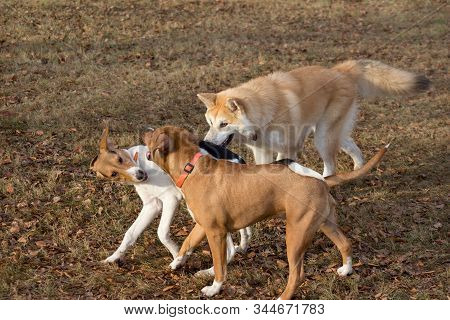 Cute Amstaff Puppy, Akita Inu Puppy And Estonian Hound Puppy Are Playing In The Autumn Park. Pet Ani