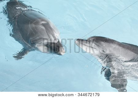 View Of Nice Bottle Nose Dolphins  Swimming In Blue Crystal Water