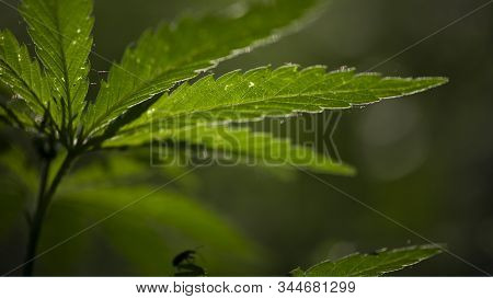 Open Sheet Of Cannabis On A Black Background.light Draws The Texture Of The Sheet.hemp Thickets.popl