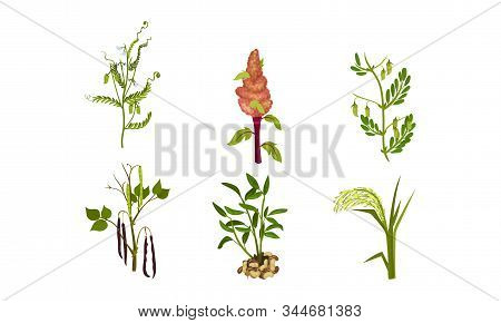 Legume Plants With Leaves, Pods And Flowers Vector Set