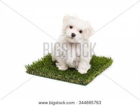 Cute Maltese Puppy Dog Sitting on Section of Artificial Turf Grass On White Background.
