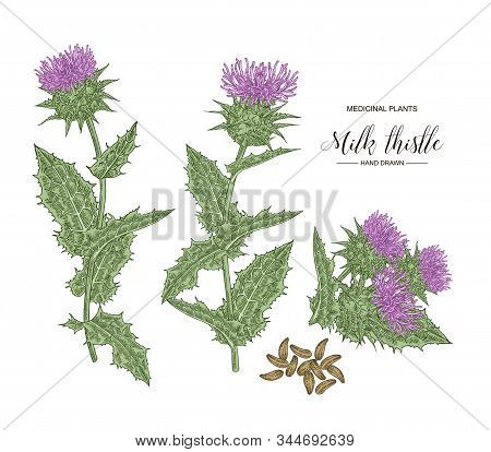 Milk Thistle Plant Hand Drawn. Colorful Thistle Flowers And Seeds Isolated On White Background. Medi
