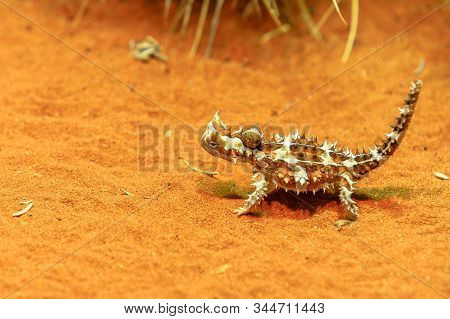 Thorny Devil, Moloch Horridus, Walks On Red Sand In Desert Park At Alice Springs, Northern Territory