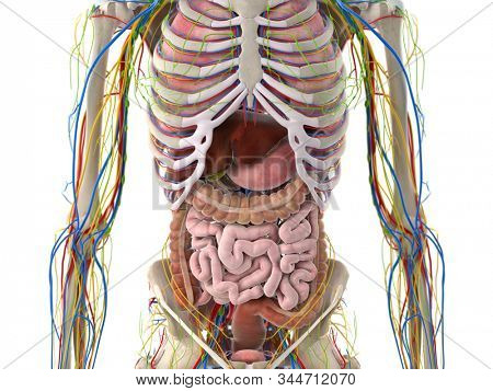 3d rendered medically accurate illustration of the abdominal organs
