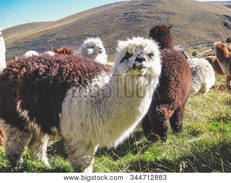 Alpaca, A Domesticated Species Of South American Camelid. It Resembles A Small Llama In Appearance.