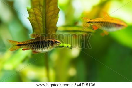 Funny Fat Aquarium Fish Hid Under A Leaf Of An Aquarium Plant. Macro View, Selective Focus