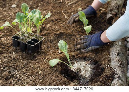 Gardener Planting Cauliflower Seedlings In Freshly Ploughed Garden Beds. Organic Gardening, Healthy