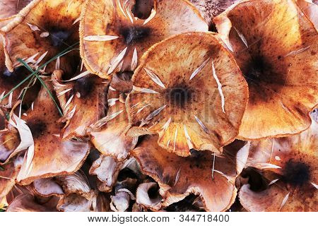 Honey Mushrooms In The Garden As Great Czech Fungus