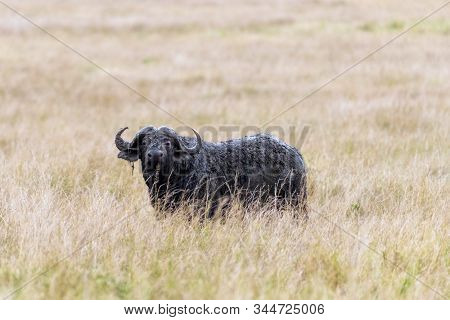 Single male Cape Buffalo, syncerus caffer, standig in the grasslands of the Masai mara, Kenya. This adult animal has been wallowing in mud to keep cool.