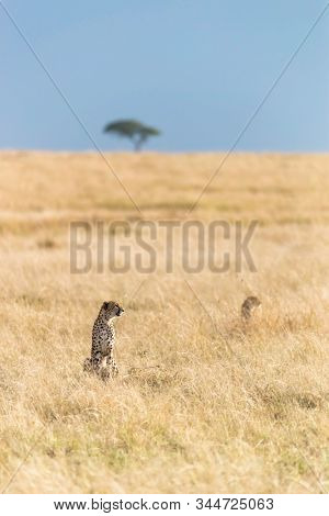 Two watchful cheetahs,  acinonyx jubatus, in the grasslands of the Masai Mara, with an acacia tree on the horizon against a clear blue sky.