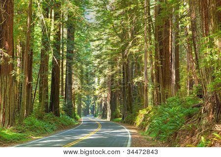 Redwood Tree
