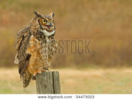 A Great Horned owl perched on a Fence