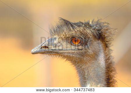 Portrait Of Emu, Dromaius Novaehollandiae, Endemic To Australia Where It Is The Largest Native Bird.