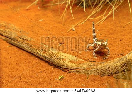Front View Of Thorny Devil, Moloch Horridus, On Red Sand In Desert Park At Alice Springs, Northern T
