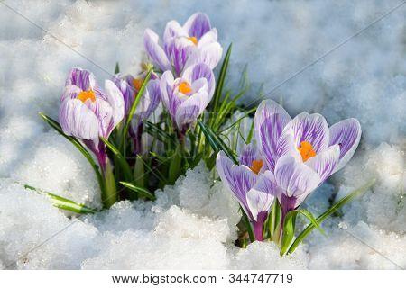 Flowers Purple Crocus In The Snow, Spring Landscape