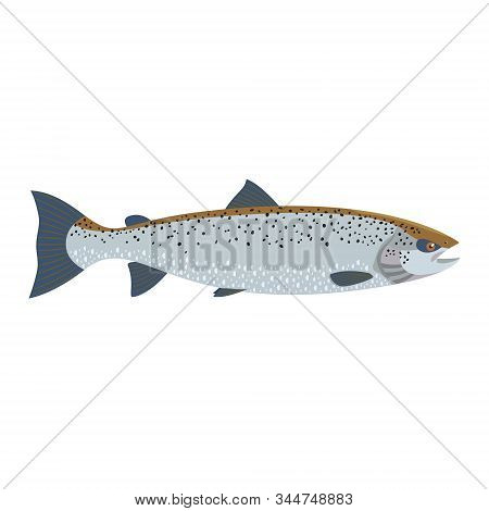 The Female Atlantic Salmon (salmo Salar) Is Isolated On The White Background.