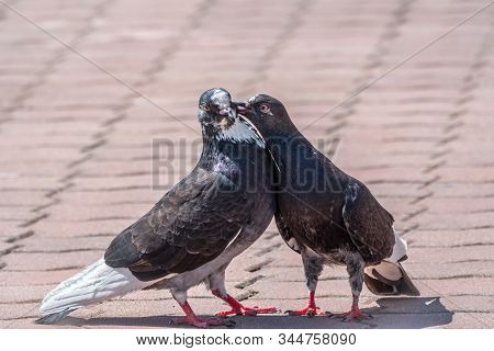 Mating Games Of A Pair Of Pigeons. Pigeons In Love Game. A Pair Of Pigeons Kisses.