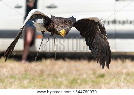 Stellers Sea Eagle (haliaeetus Pelagicus)