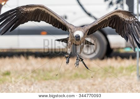 Close Up Of A White Backed Vulture (gyps Africanus) Flying In A Falconry Display