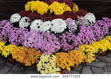 Chrysanthemum In Many Colors. They Have Different Colors. Nature Autumn Floral Background. Chrysanth