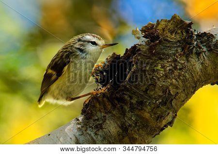 Acanthisitta Chloris - Rifleman - Titipounamu - Endemic Bird From New Zealand, Small Insectivorous P