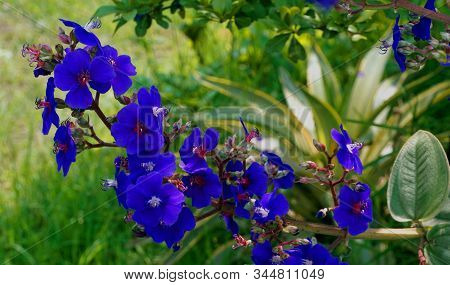 Blue Flowers. Blue Flowers In The Park. Blue Flower At Sunny Summer Or Rainy Day. Summer Flowers Of