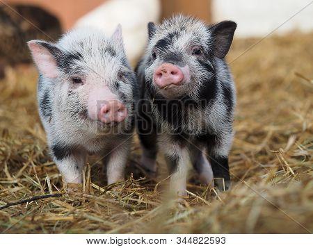 Funny Little Pigs On The Farm. Rural Scene