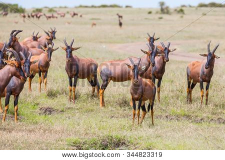 Kenya. Safari in Masai Mara National Park. Magnificent trip to the African savannah. Large flock of Tsessebe antelopes graze together. Ecological, active and phototourism concept
