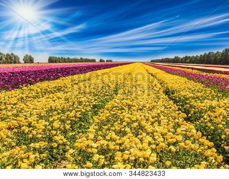 Cirrus clouds fly over the fields. Spring flowering. Kibbutz fields of flowering garden buttercups - ranunculus. Concept of ecological and rural tourism