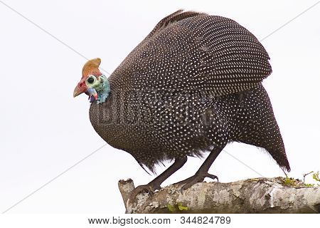 Guinea Fowl Portrait While Standing On The Branch Of A Tree
