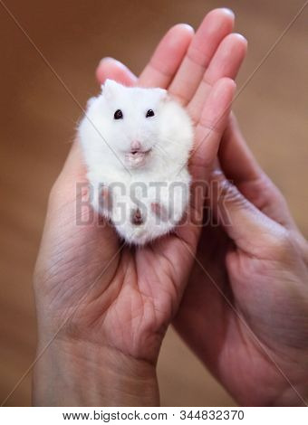 Cute Little Exotic Female Winter White Dwarf Hamster Lying Down On Owner Hand. Domesticated House Pe