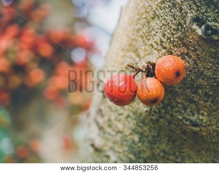 Common Fig (ficus Carica) Green And Red Fruits On Ficus Subpisocarpa Tree In Outdoor. Delicious And