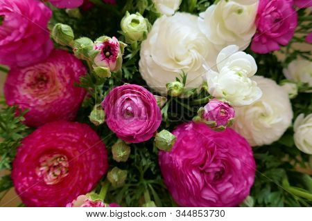 Ranunculus Flower Background.white And Pink Flowers Background. Spring Floral Background. Fresh Brig