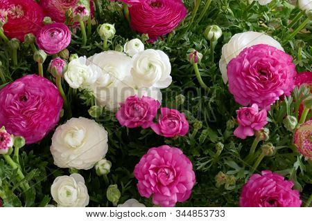 Ranunculus Flower Background.white And Pink Flowers Close-up Background.tender Spring Floral Backgro