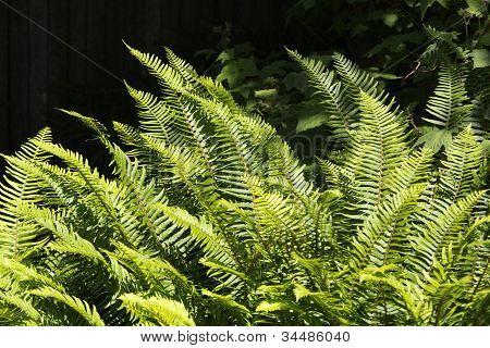 Ferns in the sun