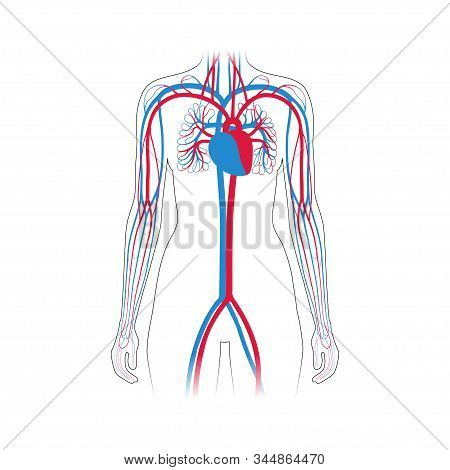 Vector Isolated Illustration Of Human Arterial And Venous Circulatory System In Hand Anatomy. Blood