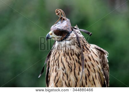 The art of falconry. Azor with a mask