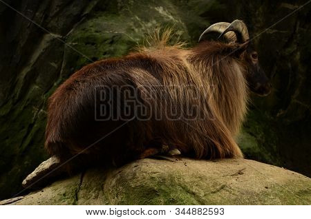 A View Of A Himalayan Tahr Sitting On Rocks In An Animal Park Enclosure.