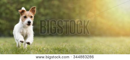 Spring, Summer Concept, Playful Happy Pet Dog Puppy Running In The Grass And Listening With Funny Ea