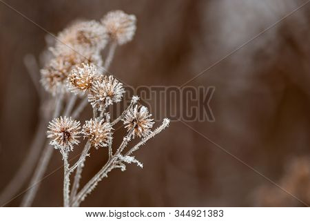 Dry Thorny Burdock In Winter On A Blurry Background. Thistle, Bur, Burdock, Thorn, Arctium. Winter N