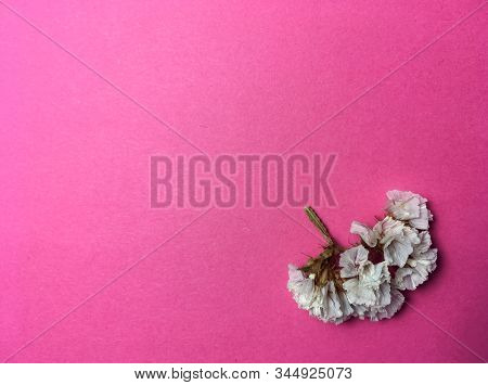 Bright Pink One-tone Background With Small Dry Flower White Color. Holiday. Card.