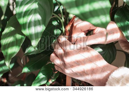 Woman Hands Tying Houseplant To A Stake. House Gardening