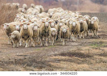 Flock Of Sheep, Sheep On Field, Sheep