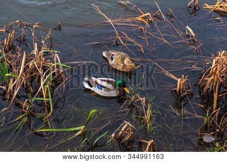Female Mallard And Male Mallard Are Floating On The Neris River In Vilnius, Lithuania