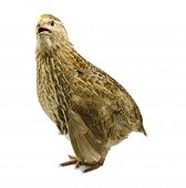 Adult domesticated yellow quail isolated on white background poster