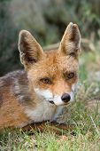 Close-up of red fox in its natural habitat poster